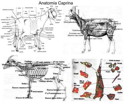 anatomia caprina bajo peso
